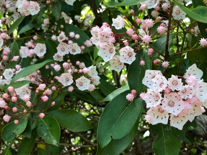 Mountain Laurel (rhododendron) starting to bloom on the trail.