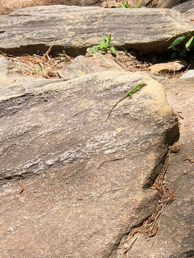 Lizard on the trail.