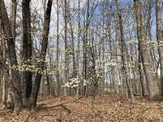 MVT dogwood in forest
