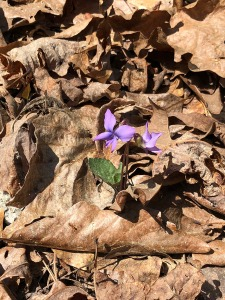MVT violet in forest with ant