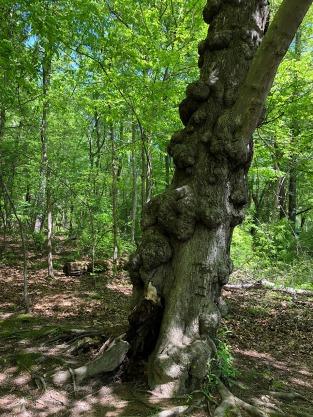 Bole Tree.