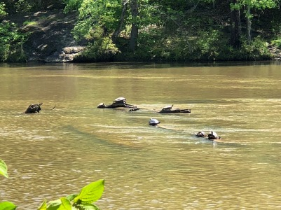 View of sunning turtles from path accessed from going over bridge.
