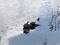 Turtles sunning.